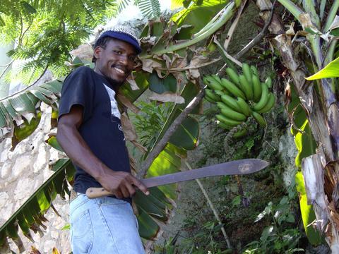 Fresh Bananas from Our Garden